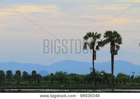 sugar palm tree in sunset time