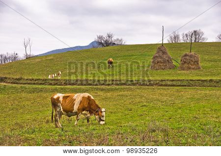 Cows and calves on a pasture at mountain meadow