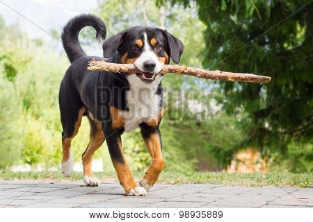Sennenhund Playing With Long Branch