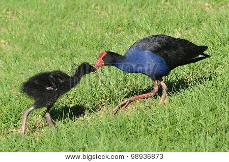Pukeko - New Zealand Native Birds