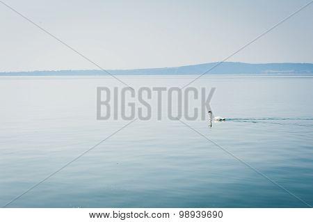 White Swan Swims On A Lake In Haze Morning