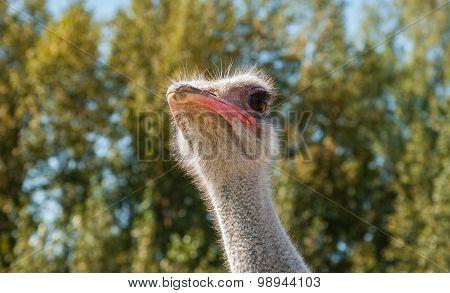 ostrich