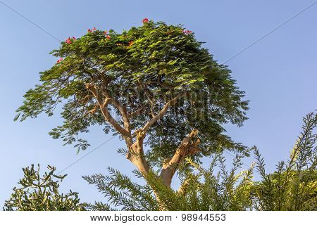 Egyptian Tree With Red Flowers