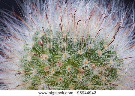 Cactus. Mammillaria Bocasana V.rosea