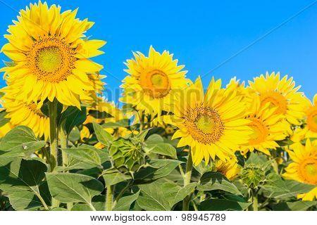 Row Of Yellow Sunflower, Close Up