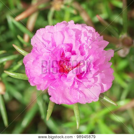 Common Purslane Or Verdolaga Or Pigweed, Little Hogweed Or Pusley