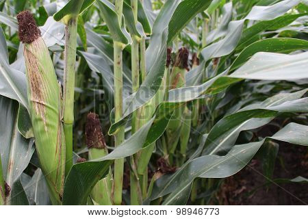 Corn in their husks in a corn field