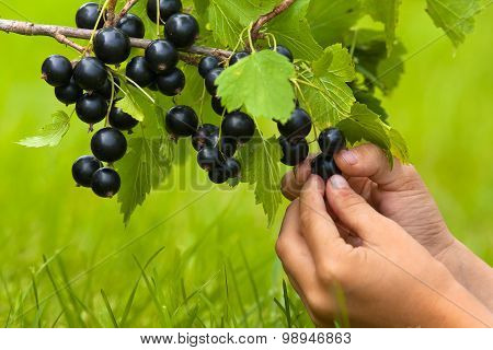 Hands Of Child Picking Berries Of Black Currant