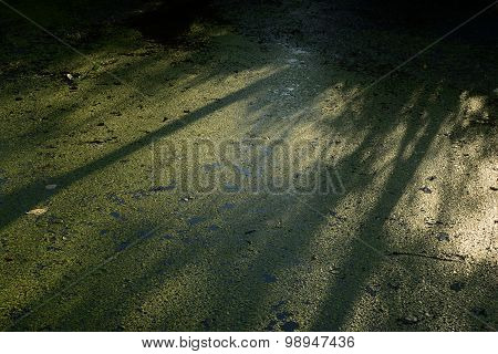 Reflection Of The Forest In The Water Covered With Thickets Of Duckweed