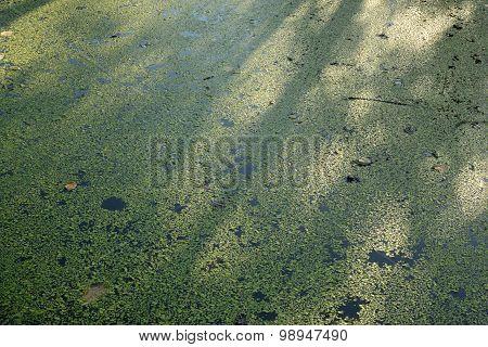 Nature Water Background Thickets Of Duckweed In The River In Late Summer