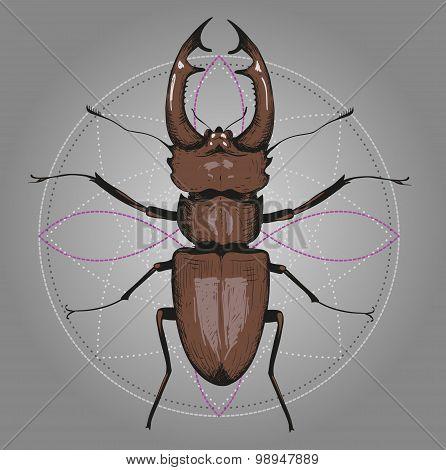Lucanus cervus (Stag beetle). Hand drawing