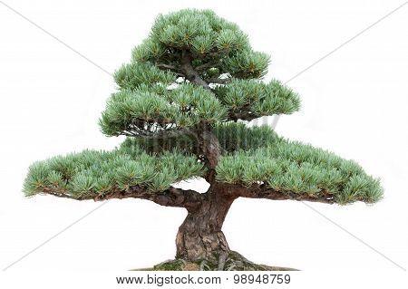 Bonsai Pine Tree