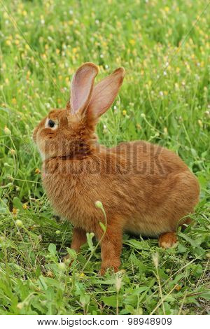 Beautiful Red Rabbit,
