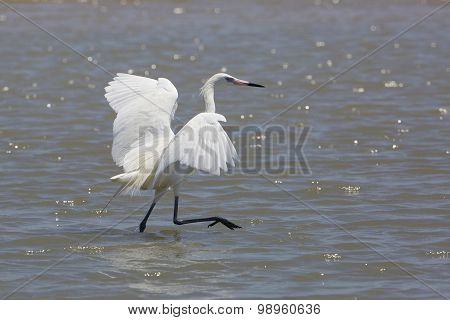 White Morph Of Reddish Egret Foraging For Food