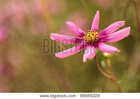 pink cosmos in the garden