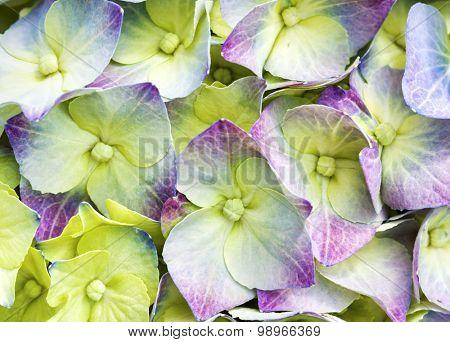 macro of multicolored Hydrangea blossom