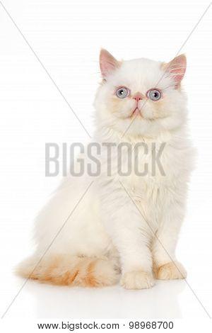 Persian Shorthair Cat