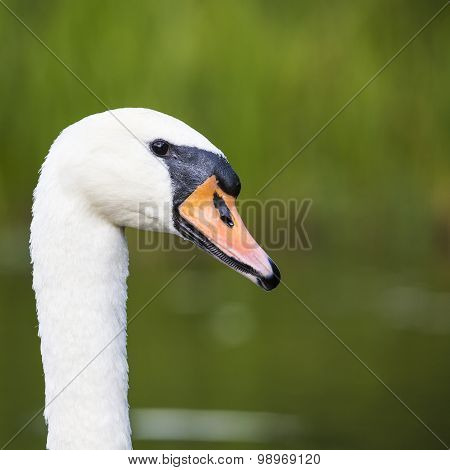 Close-up Of Swan Head Looking