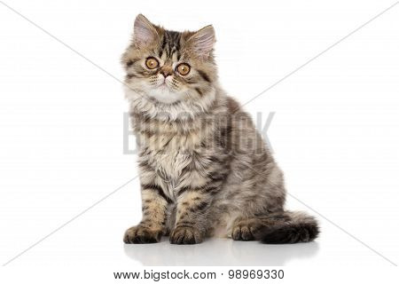 Striped Persian Cat