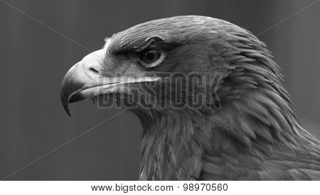 Eagle head shot in black and white
