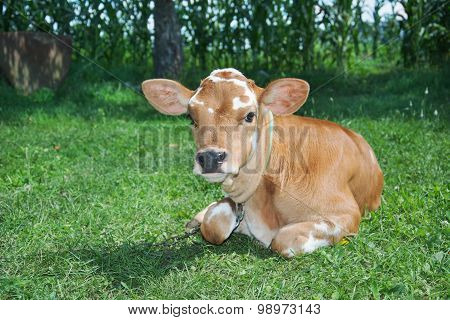Little Spotted Calf Lying On The Grass.