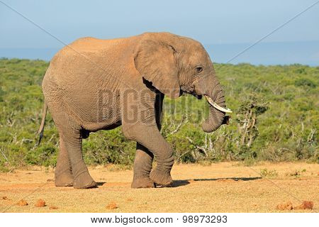 Large African elephant bull (Loxodonta africana), Addo Elephant National park, South Africa