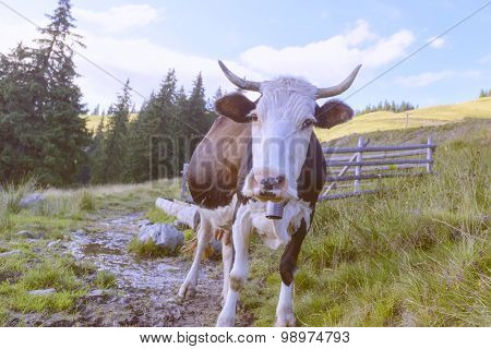 cow and old fence