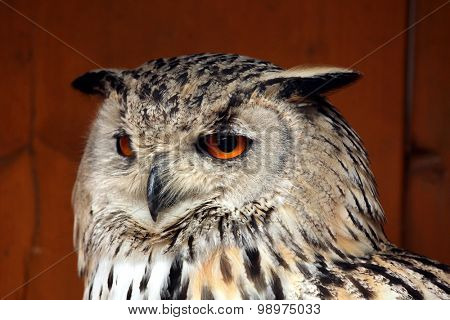 Western Siberian eagle-owl (Bubo bubo sibiricus). Wild life animal.