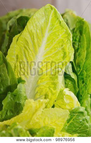 fresh greens  lettuce. healthy food