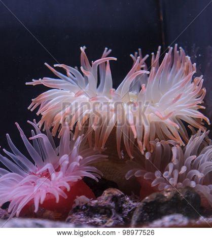 Pink anemone, Urticina crassicornis