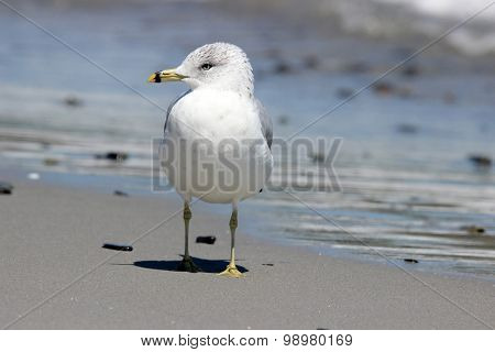 Seagull Standing on a Beach