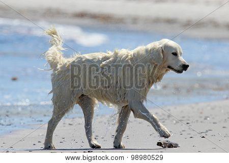 Retriever on a Beach
