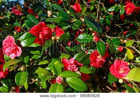 Blossoming Camellia Bush With Red Flowers.