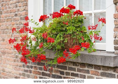 Windowsill With Red Flowering Pelargonium Plants In Pots