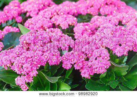 Kalanchoe Pink Flowers Closeup.