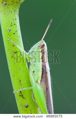 Grasshopper perched on a lotus flower
