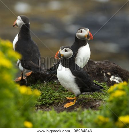 Three puffins on an island near Tobermory, Scotland