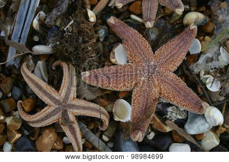 Two starfish curling up their toes after being stranded
