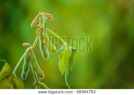 Soybean Crops In Field