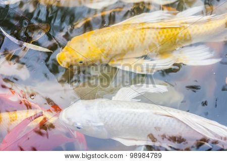 Japanese Koi Fish Swimming In The Pond