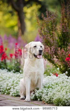 adorable yellow labrador outdoors in a park