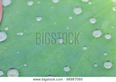 Green Lotus Leaf With Water Drop