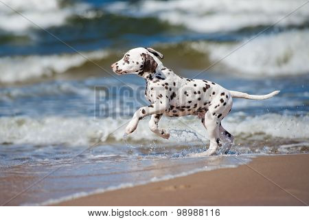 adorable dalmatian puppy on the beach