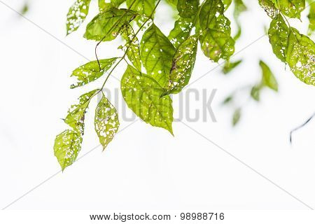Leaf With Holes, Eaten By Pests