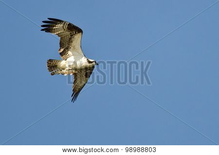 Osprey Flying In A Blue Sky With Its Caught Fish