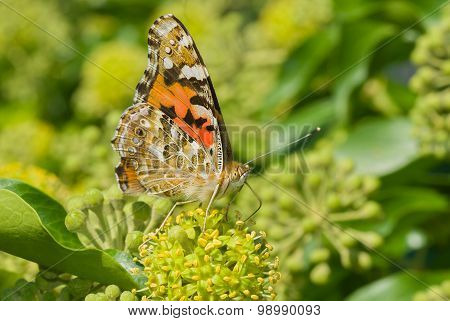 Painted Lady butterfly sucking nectar from green flower