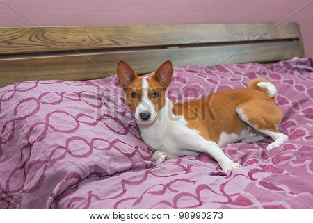 Lazy basenji dog on its own bed