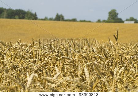 The ripened ears of wheat in the field