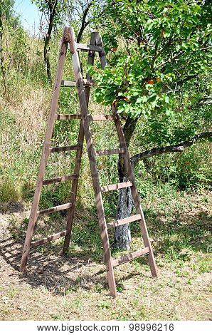Ladders and apricot orchard