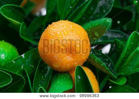 tangerine on a tree close up